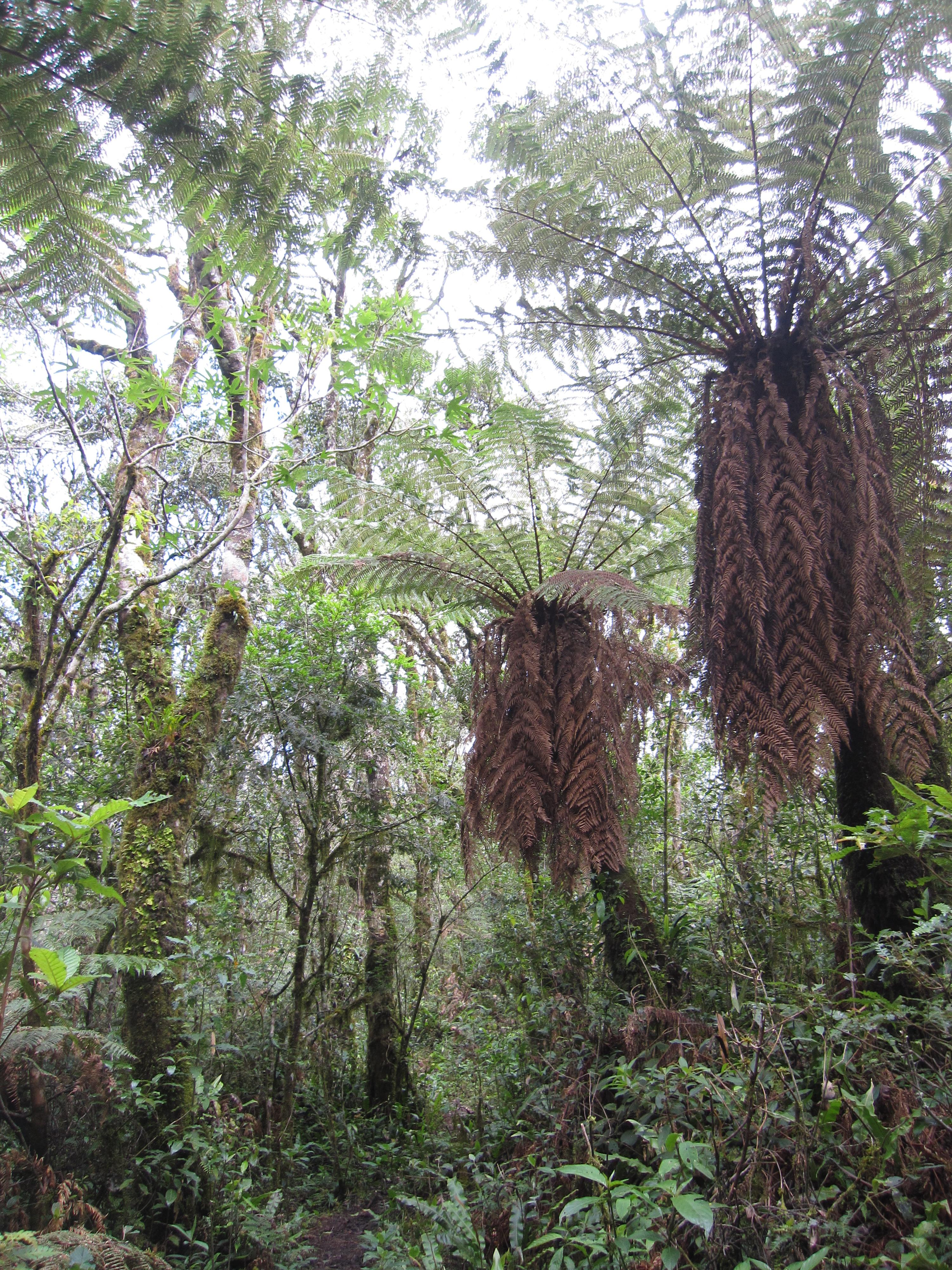 Genus of tree ferns dating back to jurassic period