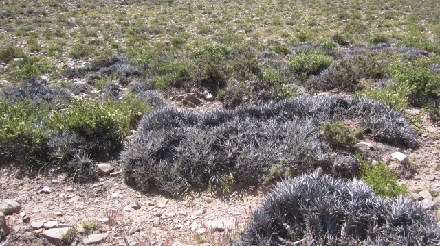 The silver bushes were sharp looking and sharp to the touch