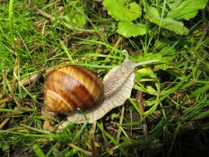 The rain brought lots of enormous snails out